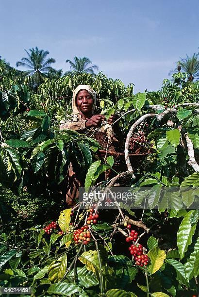 A woman harvesting coffee near Nkongsamba Cameroon