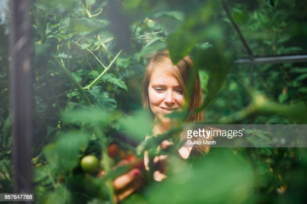 woman harvesting fresh tomatoes. - environmentalist stock pictures, royalty-free photos & images