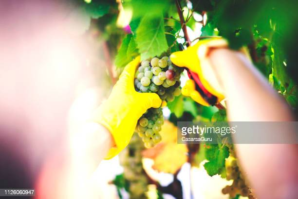 woman harvesting grape with protective gloves - grape harvest stock pictures, royalty-free photos & images
