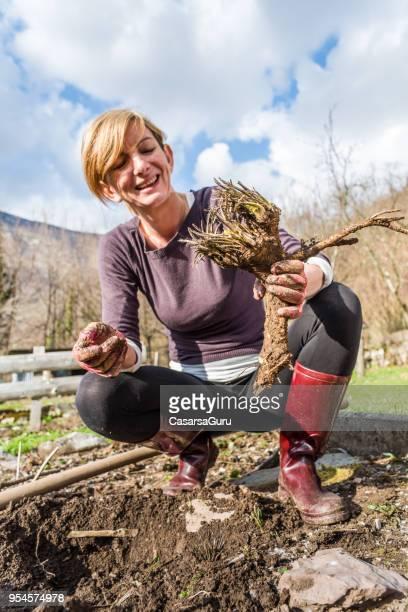 Woman Harvesting Horseradish In The Vegetable Spring Garden