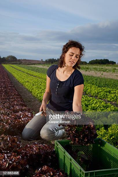 a woman harvesting lettuces in a field - leaf lettuce stock photos and pictures