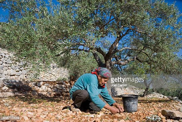 mulher colheita azeitonas - territórios da palestina - fotografias e filmes do acervo