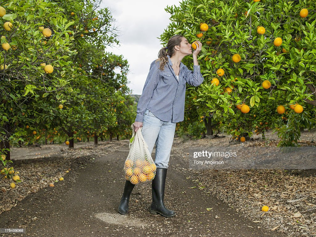 Woman harvesting oranges in grove : Foto de stock