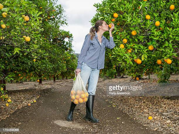 woman harvesting oranges in grove - orange orchard stock photos and pictures
