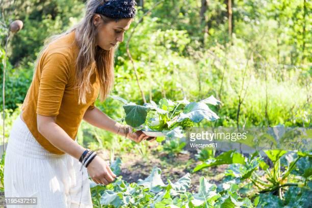 woman harvesting - nur erwachsene stock-fotos und bilder