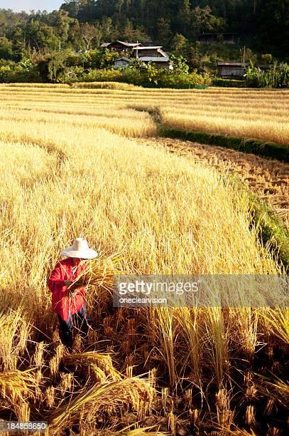 Frauen ernten Reis von Hand