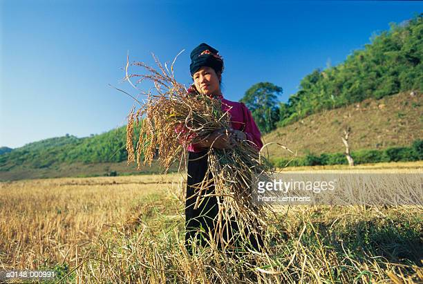 woman harvesting rice - son la stock pictures, royalty-free photos & images