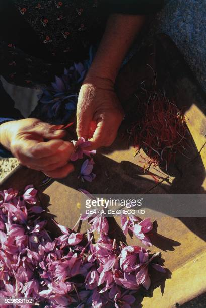 A woman harvesting stigmas from Crocus sativus flowers for saffron detail of the hands Prata d'Ansidonia Abruzzo Italy