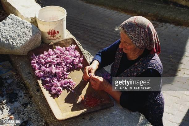 A woman harvesting stigmas from Crocus sativus flowers for saffron Prata d'Ansidonia Abruzzo Italy