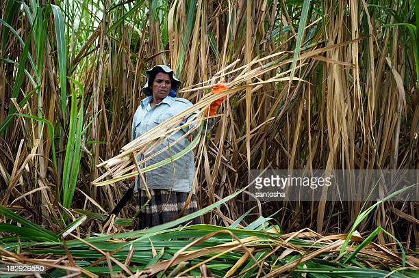 A woman harvesting sugar cane in the field