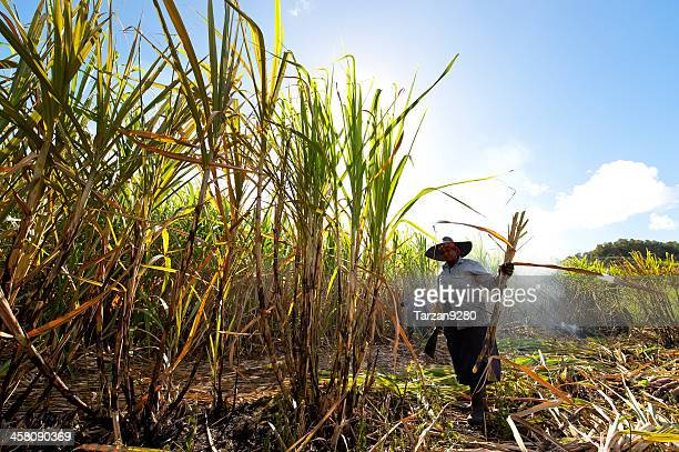 woman harvesting sugar canes - sugar cane stock pictures, royalty-free photos & images