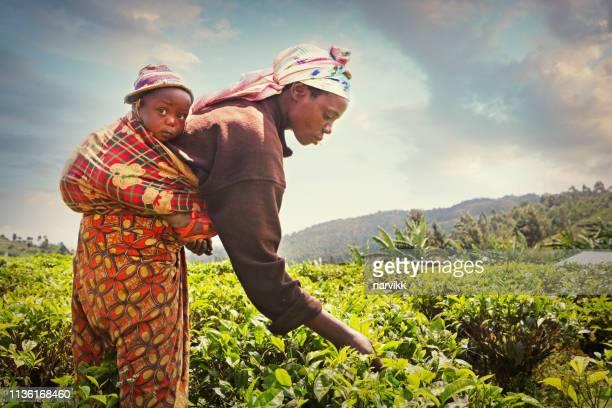 mujer recogiendo hojas de té - ruanda fotografías e imágenes de stock