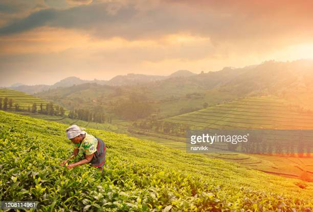 woman harvesting tea leaves - east africa stock pictures, royalty-free photos & images
