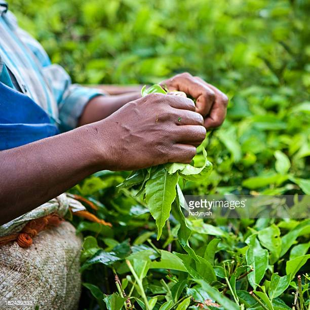 woman harvesting tea leaves - camellia sinensis stock photos and pictures