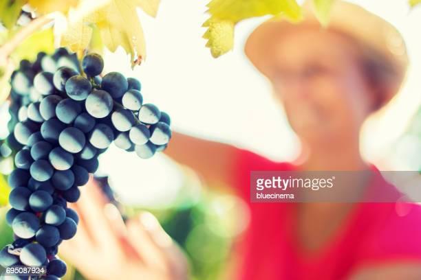 Frau, die Ernte der Trauben