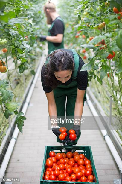 Woman harvesting tomatoes from greenhouse