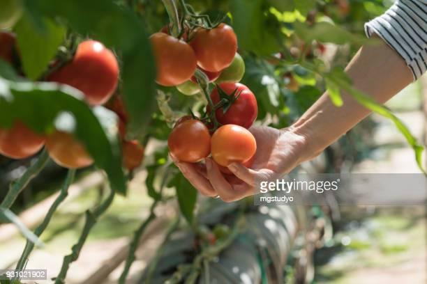 Mujer, cosecha de tomates en invernadero