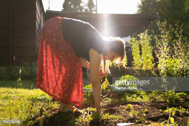 Woman harvesting vegetables from vegetable patch