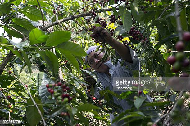 A woman harvests coffee cherries at a plantation on the slopes of the Agua volcano near San Miguel Escobar Guatemala on Thursday Dec 17 2015 Coffee...