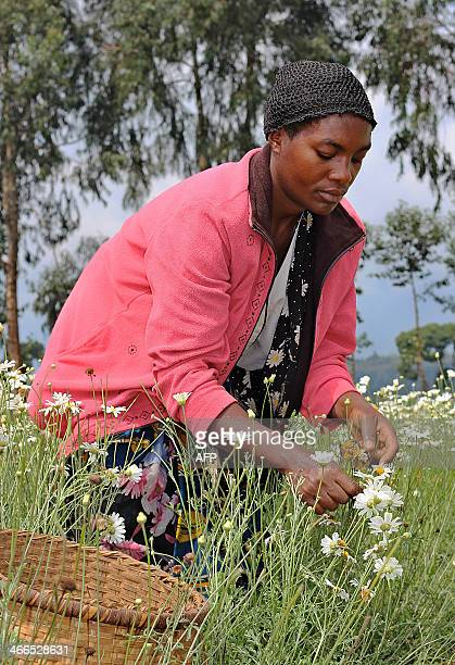 A woman harvests flowers of pyrethre flowers which will be latter dried to produce pyrethrum a natural insecticide in Musanze northern Rwanda at the...