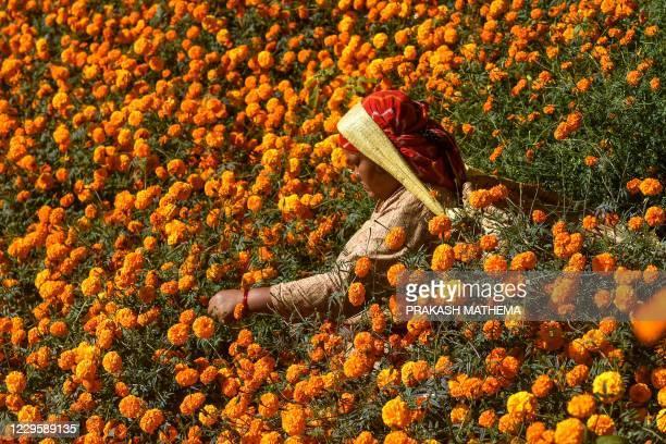 Woman harvests marigold flowers ahead of the upcoming Hindu Tihar festival in Ichangu Narayan village, on the outskirts of Kathmandu on November 12,...