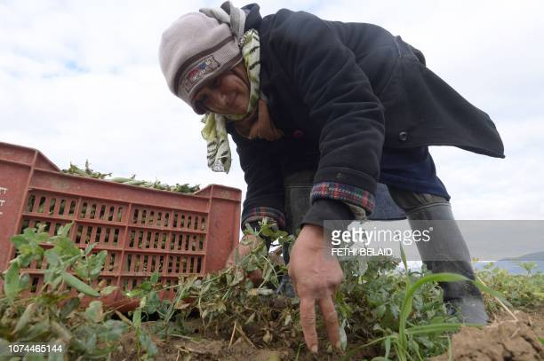 A woman harvests peas in a field in the northwestern Tunisian Jendouba governorateon December 20 2018