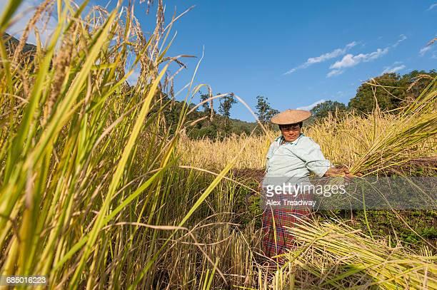 a woman harvests rice in east bhutan near mongar, bhutan, asia - ブータン ストックフォトと画像