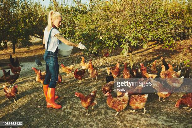 woman have free range chicken farm - hen stock pictures, royalty-free photos & images