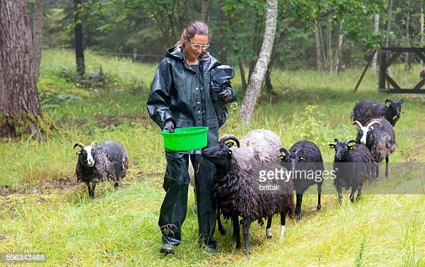 Woman herding sheep in a rainy meadow in Sweden