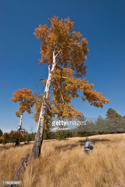 woman hiker looking at a fall colored aspen tree - jeff goulden stock pictures, royalty-free photos & images