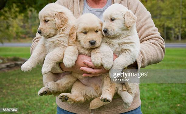 woman holding 3 male golden retriever puppies - golden retriever stock pictures, royalty-free photos & images