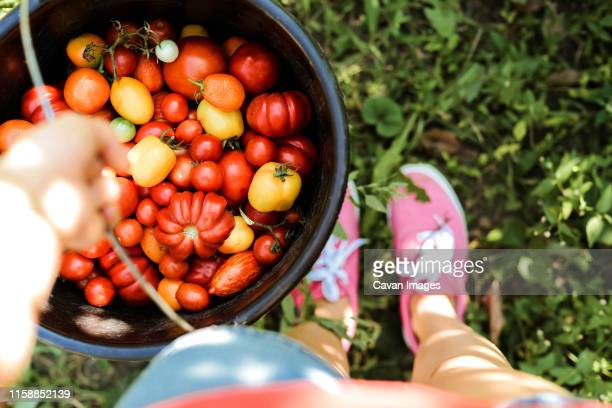 woman holding a bucket with tomatoes, freshly plucked from the v - plant de tomate photos et images de collection