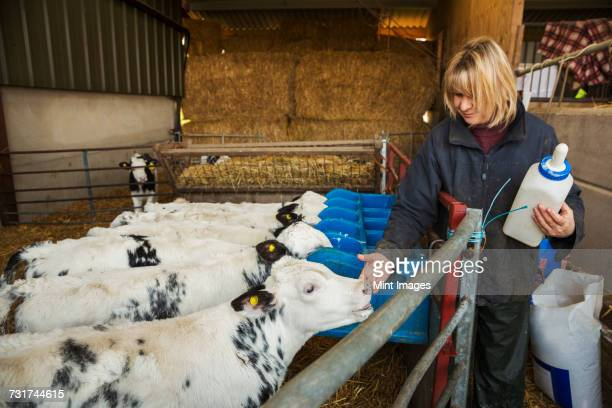 woman holding a feeding bottle standing in a stable, next to a pen with black and white calves. - animal welfare stock pictures, royalty-free photos & images
