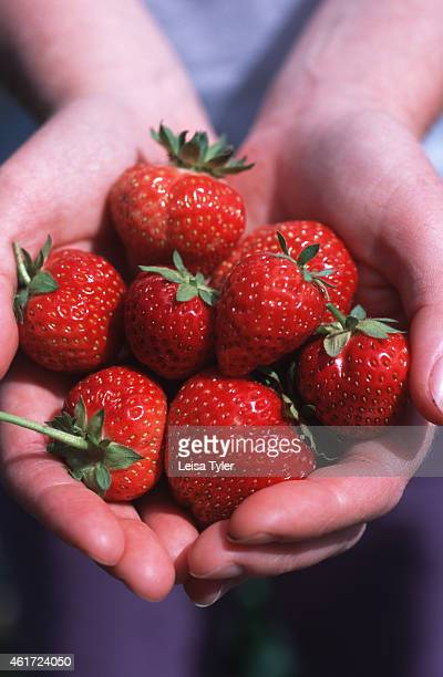 PENGUIN TASMANIA AUSTRALIA A woman holding a handful of strawberries