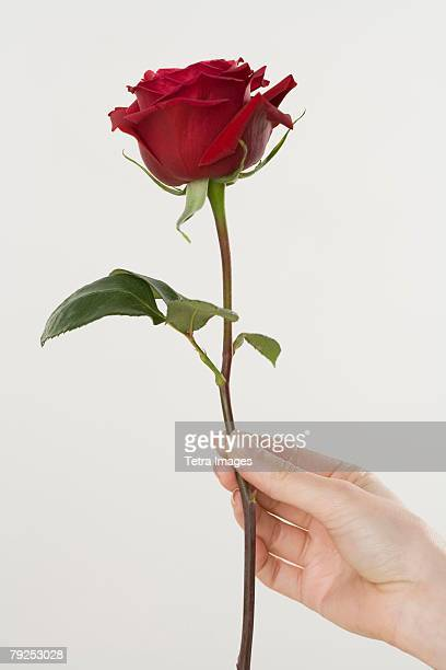 woman holding a red rose - red roses stock photos and pictures