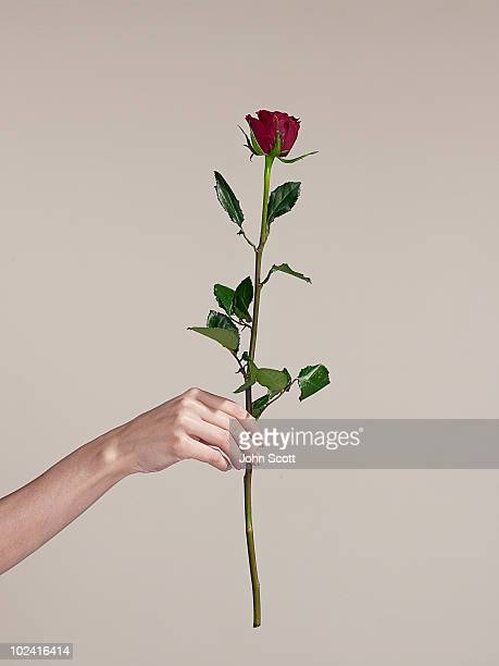 Woman holding a single rose, close-up of hand