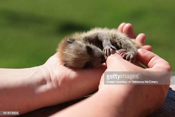 Woman holding baby raccoon in her hands