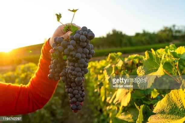 woman holding bunch of red grapes - ルポルタージュ ストックフォトと画像
