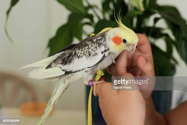 woman holding cockatiel on hands - cockatiel stock pictures, royalty-free photos & images