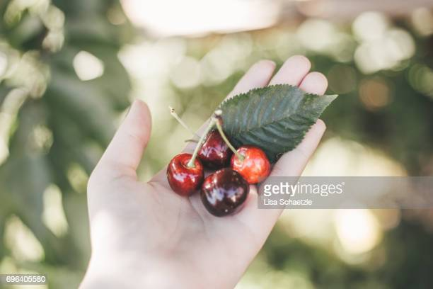 woman holding fresh cherries in her hand - gesunder lebensstil stock pictures, royalty-free photos & images