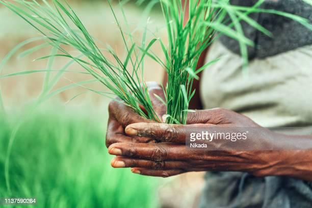 frau mit frischen reispflanzen, bauernhof in afrika - landwirtschaftliche tätigkeit stock-fotos und bilder