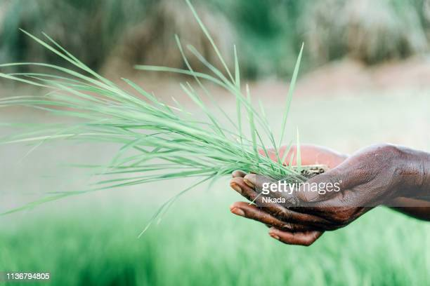 woman holding fresh seedling, Farm in Africa