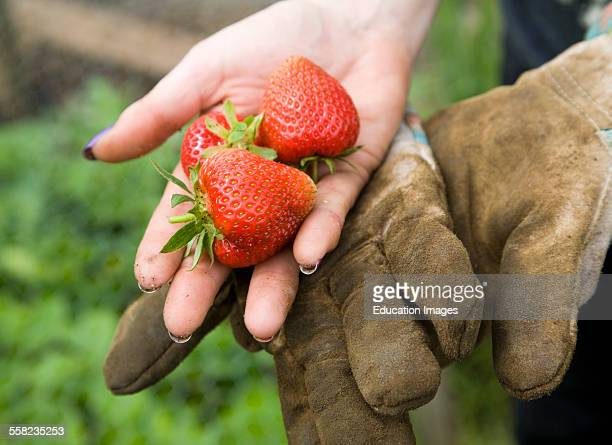 Woman holding freshly picked strawberry fruit in her hand UK