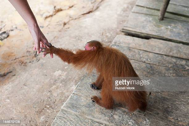 Woman holding hands with a red Uakari monkey.