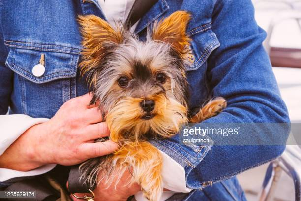 woman holding her dog in hands - yorkshire terrier stock pictures, royalty-free photos & images