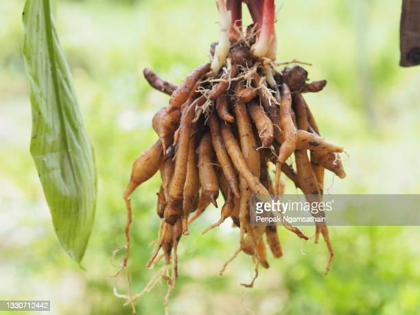woman holding in hand krachai, boesenbergia rotunda fingerroot, lesser galangal or chinese ginger, is a medicinal and culinary herb from china and southeast asia shape of the rhizome resembles fingers growing out of center piece. fingerroot is a kind of g - rotunda stock pictures, royalty-free photos & images