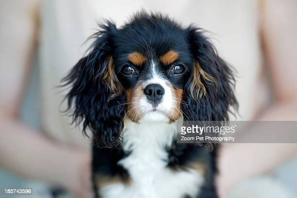 woman holding king charles spaniel - cavalier king charles spaniel stock pictures, royalty-free photos & images
