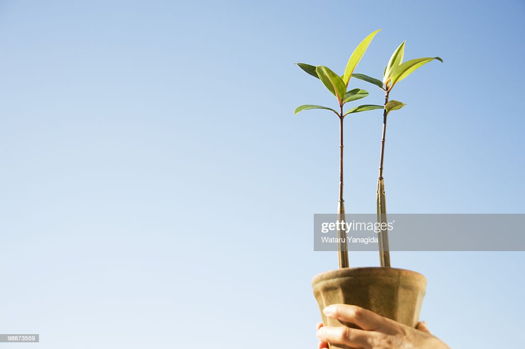 Woman Holding Mangrove Seedlings High-Res Stock Photo