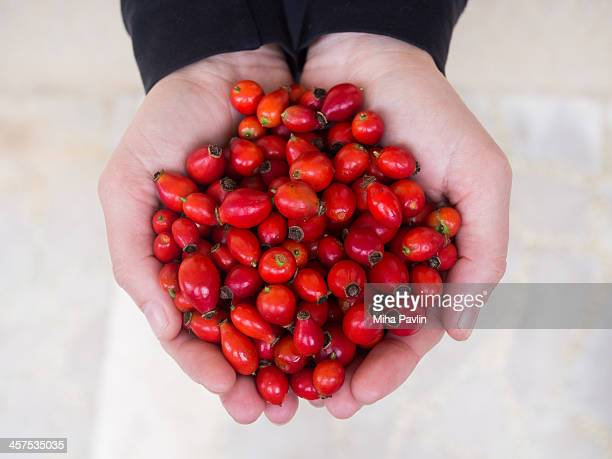 woman holding out hand full of rose hip fruits - dog rose stock photos and pictures