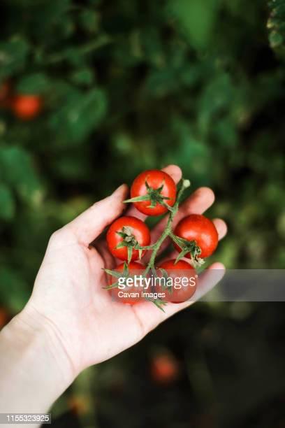 woman holding red cherry tomatoes - ramo parte de uma planta imagens e fotografias de stock